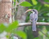 Ceylontok - Sri Lanka Gray Hornbill - Ocyceros gingalensis