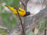 Old World Orioles