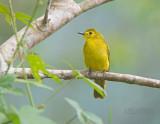 Goudbrauwbuulbuul - Yellow-browed Bulbul - Iole indica