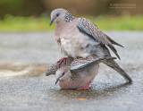 Parelhalstortel - Spotted Dove - Streptopelia orientalis