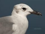 Lachmeeuw - Laughing Gull - Larus atricilla