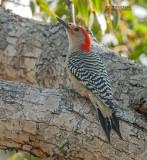 Roodbuikspecht - Red-bellied Woodpecker - Melanerpes carolinus