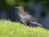 Bairds Kraai - Northwestern Crow - Corvus caurinus