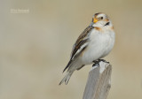 Longspurs and Snow Buntings