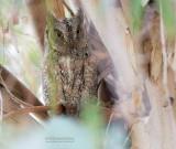 Dwergooruil - Scops Owl - Otus scops
