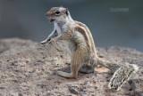 Barbarijse grondeekhoorn - Barbary ground squirrel - Atlantoxerus getulus