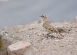 Puna-holengraver - Puna Miner - Geositta punensis