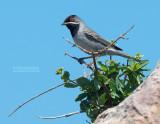 Rüppells Grasmus - Rueppell's Warbler - Sylvia ruppeli