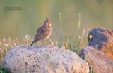 Kuifleeuwerik - Crested lark - Galerida cristata