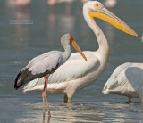 Afrikaanse Nimmerzat - Yellow-billed Stork - Mycteria ibis