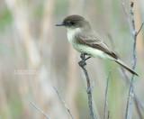 Phoebe - Eastern Phoebe - Sayornis phoebe