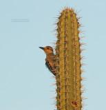 Roodkruinspecht - Red-crowned Woodpecker - Melanerpes rubricapillus