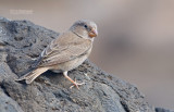 Woestijnvink - Trumpeter Finch - Bucanetes githagineus