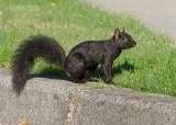 Zwarte eekhoorn  - Black Squirrel - Sciurus niger