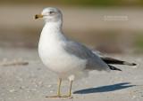 Ringsnavelmeeuw - Ring billed Gull - Larus delawarensis