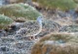 Puna-kwartelsnip - Gray-breasted Seedsnipe - Thinocorus orbignyianus
