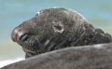 Grijze Zeehond - Grey seal - Halichoerus grypus