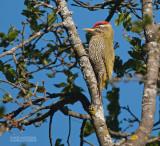 Geschubde Groene Specht - Scaly-bellied Woodpecker - Picus squamatus