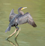 Aalscholver - Great cormorant - Phalacrocorax carbo