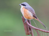 Himalayaklauwier - Grey-backed Shrike - Lanius tephronotus