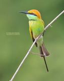 Kleine Groene Bijeneter - Green Bee-eater - Merops orientalis