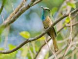 Blauwbaardbijeneter - Blue-bearded Bee-eater - Nyctyornis athertoni