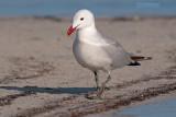 Audouins Meeuw - Audouin's Gull - Larus audoninii