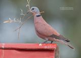 Rode Tortel - Red Collared-Dove - Streptopelia tranquebarica