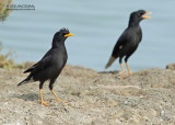 Grote Maina - Great Myna - Acridotheres grandis