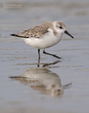 Stints and Sandpipers