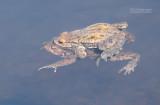 Gewone pad - Common toad - Bufo bufo