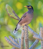 Treurmaina - Common myna - Acridotheres tristis