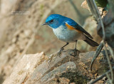 Himalayablauwstaart - Himalayan Bush-Robin - Tarsiger rufilata