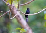 Drogo koekoek - Square-tailed Drongo-Cuckoo - Surniculus lugubris