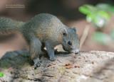 Grijsbuikeekhoorn - Gray-bellied squirrel - Callosciurus caniceps