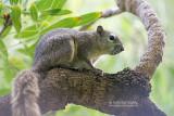 Finlayson klappereekhoorn - Finlayson's squirrel - Callosciurus finlaysonii