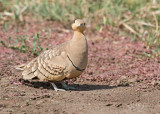 Roodbuikzandhoen  - Chestnut-bellied Sandgrouse -Pterocles exustus