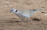 Treurtortel - African Mourning Dove - Streptopelia decipiens
