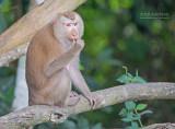 Noordelijke Leeuwmakaak - Northern pig-tailed macaque - Macaca leonina