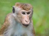 Ceylonkroonaap - Toque macaque - Macaca sinica