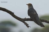Afrikaanse koekoek - African Cuckoo - Cuculus gularis
