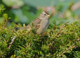 Witkruingors - White-crowned Sparrow - Zonotrichia leucophrys