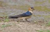 Roodstuitzwaluw - Red-rumped swallow - cecropis daurica