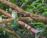 Roodbaardbijeneter - Red-bearded Bee-eater - Nyctyornis amictus
