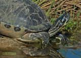 Florida Roodbuikschildpad - Florida Red-bellied Turtle - Chrysemys nelsoni