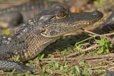 Amerikaanse alligator - American Alligator - Alligator mississippiensi