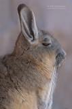 Bergviscacha - Mountain Viscacha - Lagidium viscacia