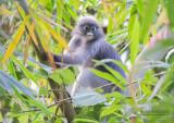 Brillangoer - Dusky leaf monkey - Trachypithecus obscurus