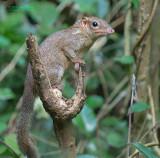 Belangers toepaja - northern treeshrew - Tupaia belangeri