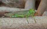 Reuzen sprinkhaan - Giant South American Grasshopper - Tropidacris violaceus